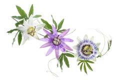 Τρία χρωμάτισαν το λουλούδι πάθους πορφυρό, άσπρος, μπλε, ένωση που απομονώθηκε στο λευκό Στοκ εικόνα με δικαίωμα ελεύθερης χρήσης
