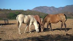 Τρία όμορφα άλογα τρώνε τη χλόη από τον τομέα στο χωριό Mascota Jalisco Μεξικό απόθεμα βίντεο