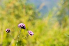 Τρία όμορφα μικρά ιώδη λουλούδια στο θολωμένο backgro Στοκ Φωτογραφίες