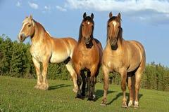 Τρία όμορφα σχέδιο-άλογα του Βελγίου που στέκονται μαζί στο θερινό λιβάδι στοκ εικόνες με δικαίωμα ελεύθερης χρήσης