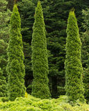 Τρία arborvitae δέντρων Στοκ φωτογραφίες με δικαίωμα ελεύθερης χρήσης