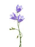 Τρία bellflowers στοκ φωτογραφίες με δικαίωμα ελεύθερης χρήσης