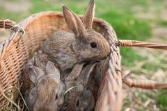 Τρία bunnys στην επαρχία καλαθιών Στοκ Εικόνες