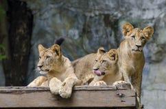 Τρία Cubs λιονταριών σε ένα πεσμένο δέντρο στοκ φωτογραφία