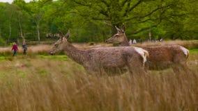 Τρία Deers στην εικόνα φιλμ μικρού μήκους