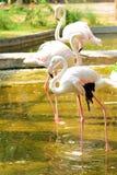 Τρία flamingoes Στοκ Εικόνες
