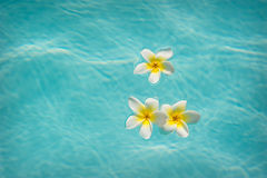 Τρία frangipanis που επιπλέουν στην πισίνα Στοκ Εικόνα