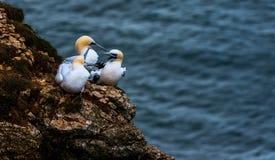 Τρία Gannets στους απότομους βράχους bempton, Γιορκσάιρ, UK Στοκ εικόνες με δικαίωμα ελεύθερης χρήσης