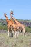 Τρία Giraffes κοπάδι στη σαβάνα Στοκ Εικόνες