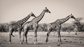 Τρία giraffes σε μια σειρά Στοκ εικόνες με δικαίωμα ελεύθερης χρήσης