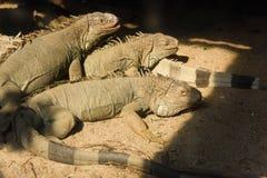 Τρία Iguana στην άμμο Στοκ Εικόνα