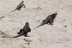 Τρία iguanas στην άμμο Στοκ φωτογραφίες με δικαίωμα ελεύθερης χρήσης
