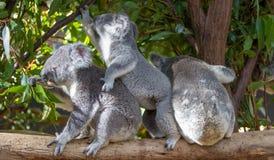 Τρία koalas που κάθονται δίπλα-δίπλα σε έναν κλάδο Στοκ Εικόνες