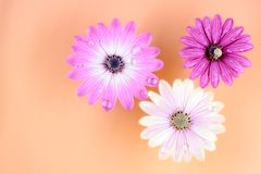Τρία Osteospermum Daisy ή λουλούδια της Daisy ακρωτηρίων Στοκ Εικόνες