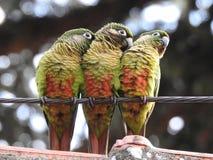 Τρία parakeets που σκαρφαλώνουν σε ένα καλώδιο χάλυβα στοκ φωτογραφία