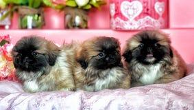 Τρία Pekingese puppys Στοκ Εικόνα