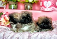 Τρία Pekingese puppys Στοκ Εικόνες