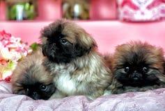 Τρία Pekingese puppys Στοκ Φωτογραφίες