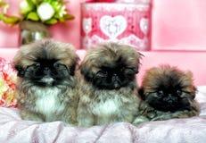 Τρία Pekingese puppys Στοκ φωτογραφία με δικαίωμα ελεύθερης χρήσης