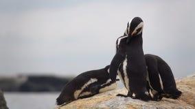 Τρία penguins που λιάζουν στους βράχους απόθεμα βίντεο