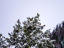 Τρία Robins που σκαρφαλώνει στο χιόνι που φορτώνεται αειθαλές Στοκ φωτογραφία με δικαίωμα ελεύθερης χρήσης