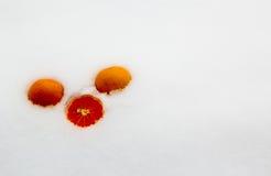 Τρία tangerines στο χιόνι Στοκ Εικόνες