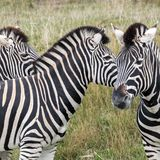 Τρία zebras βουνών που εξετάζουν στις διαφορετικές κατευθύνσεις, που φωτογραφίζονται το πάρκο σαφάρι Lympne λιμένων, Ashford, Κεν στοκ φωτογραφία με δικαίωμα ελεύθερης χρήσης
