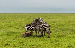 Τρία zebras που διαμορφώνουν ένα τρίγωνο στοκ εικόνα με δικαίωμα ελεύθερης χρήσης