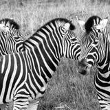 Τρία zebras που εξετάζουν στις διαφορετικές κατευθύνσεις, που φωτογραφίζονται σε μονοχρωματικό το πάρκο σαφάρι Lympne λιμένων, As στοκ εικόνα