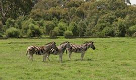 Τρία zebras σε έναν ελεύθερο ζωολογικό κήπο σειράς Στοκ φωτογραφία με δικαίωμα ελεύθερης χρήσης