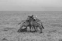 Τρία Zebras σε γραπτό στοκ φωτογραφία με δικαίωμα ελεύθερης χρήσης