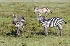 Τρία zebras Στοκ εικόνες με δικαίωμα ελεύθερης χρήσης