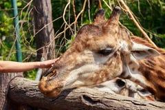 Τρίβει το κεφάλι giraffe Στοκ Εικόνες