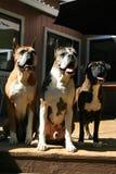 τρίο σκυλιών μπόξερ Στοκ εικόνες με δικαίωμα ελεύθερης χρήσης
