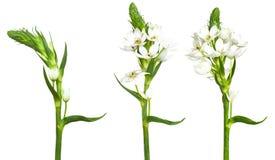 Τρίο του ornitogalum wite στοκ φωτογραφίες με δικαίωμα ελεύθερης χρήσης
