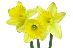τρίο 3 daffodils Στοκ εικόνα με δικαίωμα ελεύθερης χρήσης