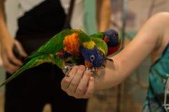 Τρίχρωμοι παπαγάλοι που παίρνουν τα τρόφιμα Στοκ Φωτογραφία