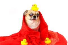 Τρίψιμο σκυλιών το σώμα ξηρό στοκ φωτογραφίες