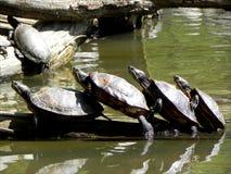 Τραίνο χελωνών Στοκ Φωτογραφίες