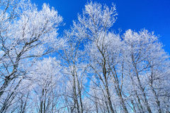 Τραγανά, παγωμένα δέντρα στοκ εικόνες
