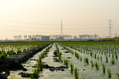 Τραγανοί τομείς ρυζιού Στοκ εικόνα με δικαίωμα ελεύθερης χρήσης