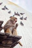 τραγούδι του Νεπάλ πιθήκ&omega Στοκ Εικόνες