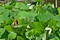 Τραγούδι φύλλων Lotus στοκ φωτογραφία