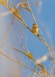 Τραγούδι Cisticola Zitting στοκ φωτογραφία