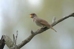 Τραγούδι nightingale στον ξηρό κλάδο Στοκ Φωτογραφίες