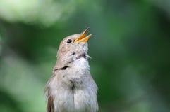 Τραγούδι nightingale στο πράσινο κλίμα Στοκ Φωτογραφίες