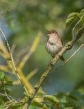 Τραγούδι Nightingale Στοκ Εικόνα