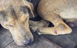 Τραυματισμένα περιπλανώμενα σκυλιά Στοκ Εικόνα