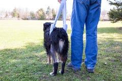 Τραυματισμένοι περίπατοι σκυλιών στη σφεντόνα πίσω Στοκ Εικόνες