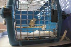 Τραυματισμένο θηλυκό Grosbeak Στοκ εικόνες με δικαίωμα ελεύθερης χρήσης